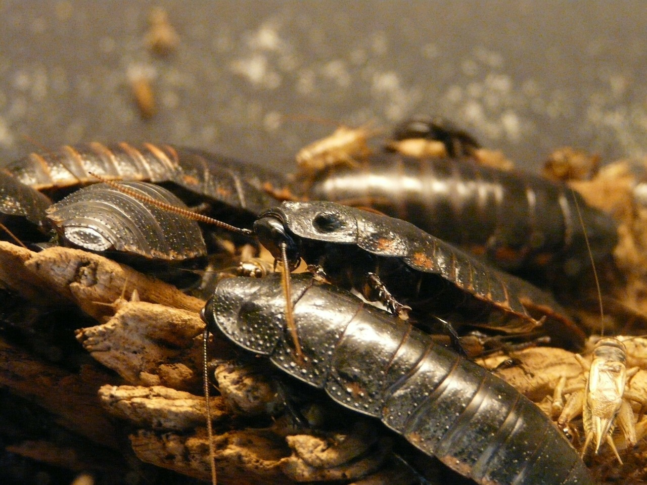 Disinfestazione scarafaggi: la lotta alle blatte